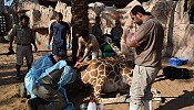 Al Ain Zoo's expert Veterinary team rescues distressed Giraffe