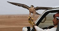 Saudi club launches project to protect falcons