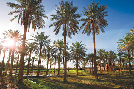 Festival of dates launched in Al-Ahsa